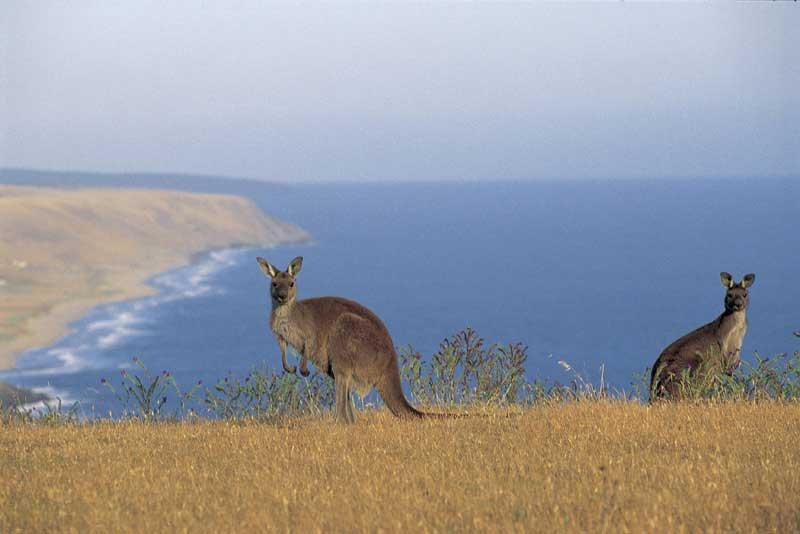 Australie - South Australia - Kandaroo Island - Kangourous