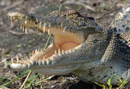 Crocodile - Territoire du Nord © Lords Safaris