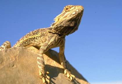 Un Pogona en Australie - Boarded Dragon
