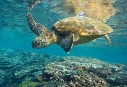 Tortue dans le queensland